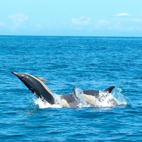 Observação de Golfinhos e Aves com Biólogo Marinho
